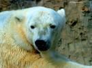 El origen del oso polar