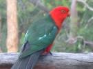 El papagayo australiano