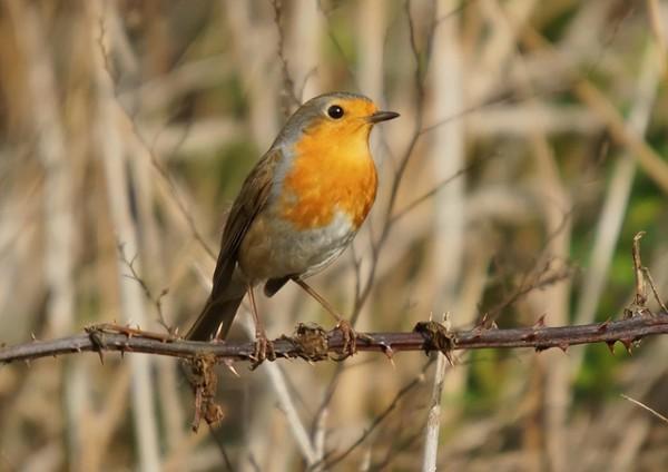 Al parecer, los pájaros rojos y naranjas son más propensos a padecer cataratas y problemas en la vista