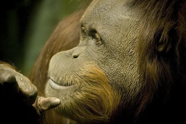 primates inteligentes nos sorprenden