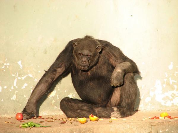 imagen de un chimpances