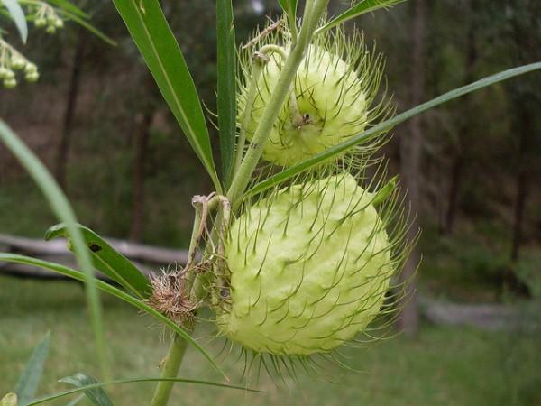 El cotoner es una planta invasora, cuya plaga está atacando a la flora autóctona de Serra de Tramuntana