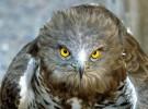 Muere un águila culebrera, abandonada por el 112