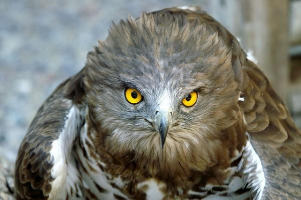 Un águila culebrera abandonada por el 112 de Galicia, termina falleciendo horas después