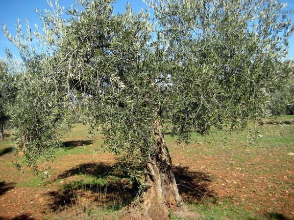 plantaciones de olivares