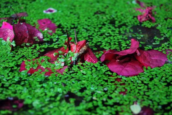 plantas de lentejas