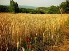 Contra el trigo transgénico