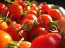 Se podrá tener mejores tomates