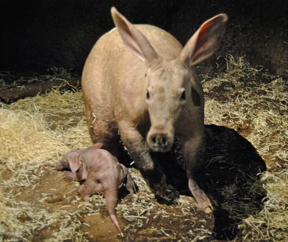 Nace un oricteropo en Bioparc Valencia - enero 2013