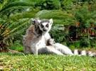Nacen gemelos de lemúres en Bioparc Fuengirola