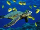 Los científicos predicen la extinción de la tortuga verde del Pacífico en 20 años