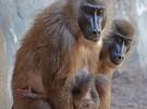 Nace en Bioparc Valencia una cría de dril, uno de los primates más amenazados