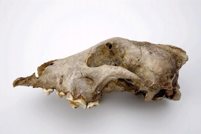 fosil perro