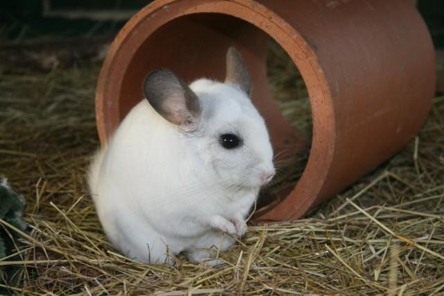 Chinchilla blanca