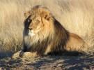 Así son los leones