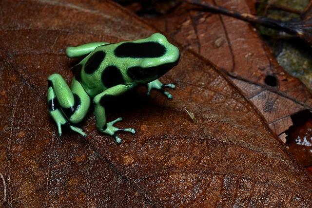 Dendrobates, los anfibios más llamativos del mundo