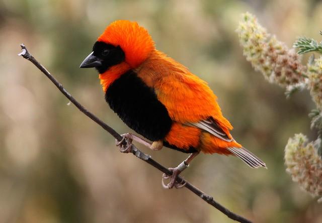 El obispo rojo, el ave más colorida de Sudáfrica
