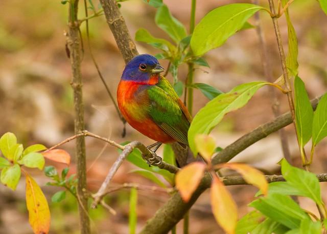 El azulillo pintado, el pájaro más colorido de América