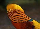 El faisán dorado, un ave originaria de Asia