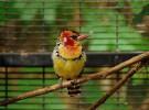 El barbudo cabecirrojo, un elegante pájaro de África