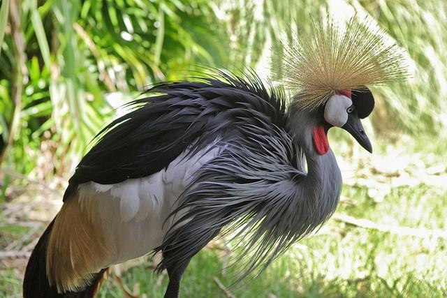 Grulla coronada cuelligrís, una peculiar ave del sur del Sáhara