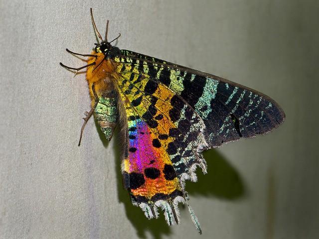 La polilla crepuscular, la más famosa y bella de los lepidópteros