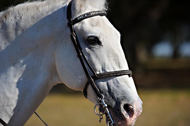El caballo semental, uno de los animales más cotizados del mundo