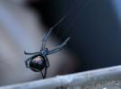 La viuda negra, una araña con mala reputación