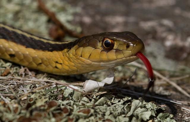 La serpiente de jarretera, un inofensivo reptil de América del Norte