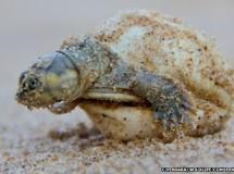 """Una tortuga amazónica """"habla"""" con sus crías"""