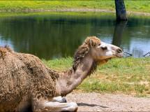 El dromedario, una especie originaria de la península Arábiga