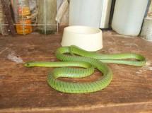 La boomslang, una pequeña serpiente venenosa