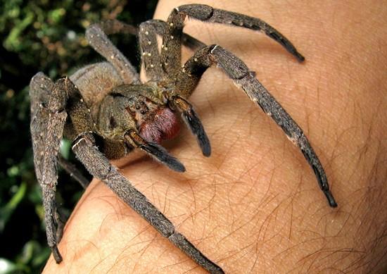 La araña bananera, una de las más tóxicas del mundo