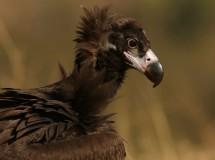El buitre negro recupera con fuerza sus poblaciones en Extremadura