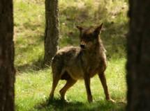 Ecologistas en Acción contra la posible autorización de caza del lobo ibérico