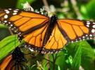 México se implica con la protección de la mariposa monarca