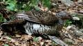 Cuatro hembras de urogallo serán soltadas en Picos de Europa próximamente