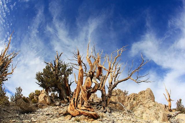 Los 5 árboles más antiguos del mundo