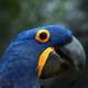 El guacamayo azul, la especie más grande que existe