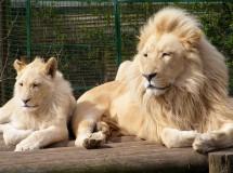 El león blanco, una extraña y divina mutación