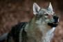 Algunas curiosidades sobre los lobos