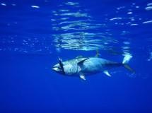 El atún rojo, el pez más cotizado del mundo