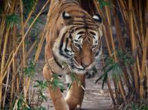 El tigre de malasia podría desaparecer en los próximos años