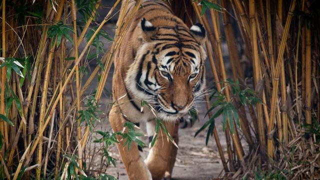 tigre-de-malasia