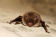 El pequeño murciélago café, el animal más dormilón del mundo