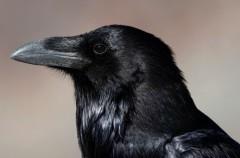 Los cuervos y sus alianzas políticas