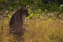 El proyecto Life-Iberlince suelta tres linces ibéricos en los Montes de Toledo