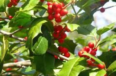 Plantas de navidad: acebo