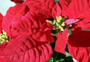 Plantas de navidad: flor de pascua