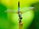 Las libélulas, unos insectos fascinantes